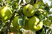 MALUS DOMESTICA GOLDEN PEARMAIN APPLE