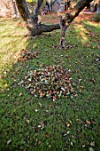 PILE OF AUTUMN LEAVES IN GARDEN