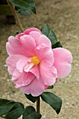 CAMELLIA PINK ICICLE