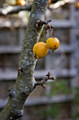 CRAB APPLE GOLDEN HORNET, MALUS GOLDEN HORNET