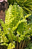 ASPLENIUM GOLDEN QUEEN