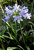 AGAPANTHUS BLUE HEAVEN