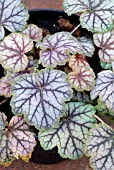 HEUCHERA GREEN SPICE,
