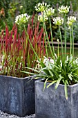CONTAINERS WITH IMPERATA CYLINDRICA RED BARON AND AGAPANTHUS AFRICANUS ALBUS