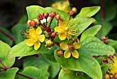 HYPERICUM ELITE MARRON