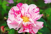 ROSA GALLICA VAR. OFFICINALIS VERSICOLOR