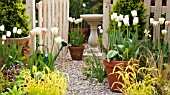 TULIPA FLAMING SPRING GREEN, TULIPA CHEERS IN TERRACOTTA POTS AT HIGH MEADOW