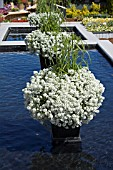 LOBULARIA SNOW PRINCESS AND CYPERUS PAPYRUS BABY TUT ON COLUMN IN REFLECTING POOL