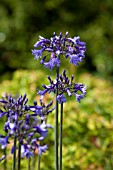 AGAPANTHUS WINDLEBROOK