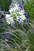 AGAPANTHUS ALBUS PLANTED IN MIXED HERBACEOUS BORDER