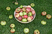 APPLES GATHERED TO MAKE CIDER