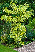 LIQUIDAMBER STYRACIFLUA GOLDEN TREASURE