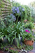 AGAPANTHUS IN CONTAINERS