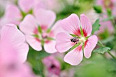 ANISODONTEA CAPENSIS LADY IN PINK