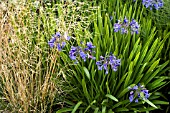 DESCHAMPSIA CESPITOSA GOLDGEHANGE WITH AGAPANTHUS BLUE BIRD