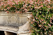 CURVED STONEWORK SEAT WITH ABELIA X GRANDIFLORA,  RHS WISLEY: AUGUST.
