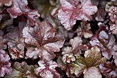 HEUCHERA LICORICE