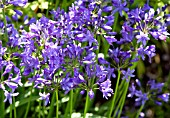 AGAPANTHUS KINGSTON BLUE