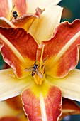 HEMEROCALLIS FRANS HALS WITH HOVER FLIES