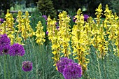 ASPHODELINE LUTEA & ALLIUM PURPLE SENSATION