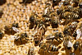 APIS MELLIFERA - HONEY BEES AND QUEEN