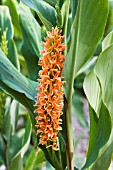 HEDYCHIUM DENSIFLORUM ASSAM ORANGE