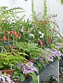 GREENHOUSE WITH ORCHIDS,  FERNS & STREPTOCARPUS